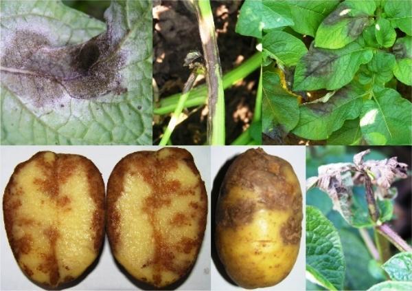 Вянет картофельная ботва