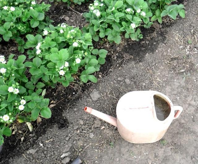 Подкормка клубники во время цветения