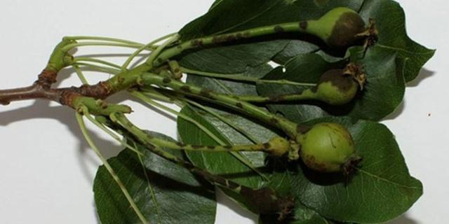 Чернеют листья (плоды, побеги, ствол) на груше: фото, что делать, как бороться