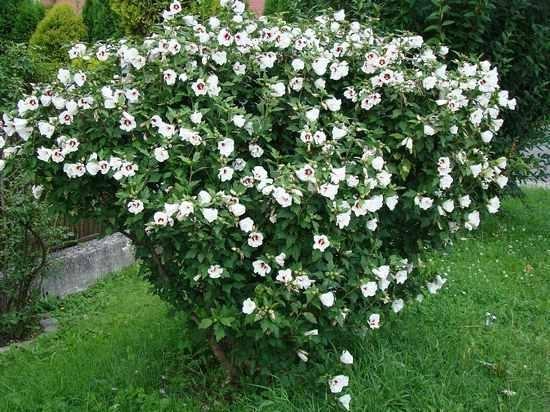 Зимостойкие цветущие многолетние кустарники