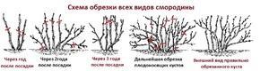Смородина: обрезка осенью, омоложение старого куста + схема