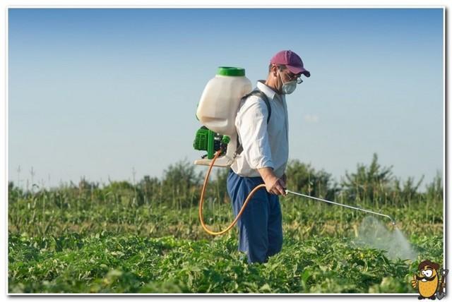 Картофель Пикассо: описание сорта, фото, отзывы, урожайность