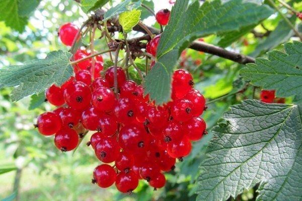 Смородина красная Сахарная: описание сорта, фото, отзывы
