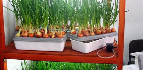 Как вырастить лук на подоконнике в воде