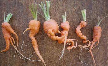 Чем удобрить морковь при посадке