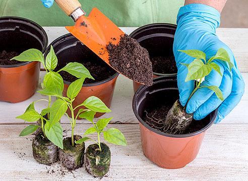Выращивание рассады перца в торфяных таблетках