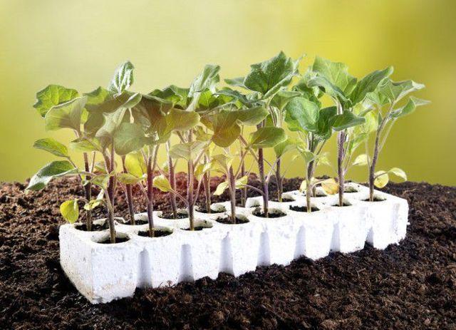 Посадка семян баклажан рассаду