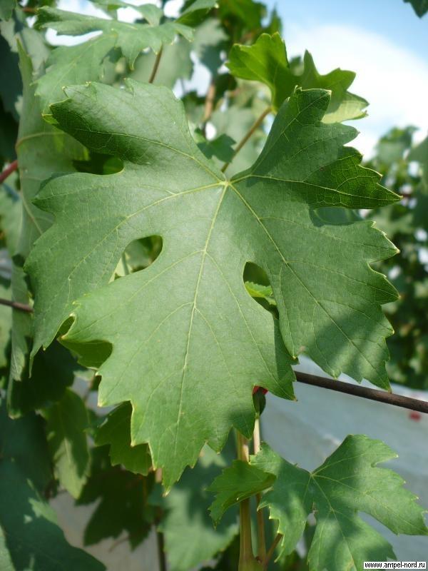 Виноград Академик: описание сорта, фото, отзывы