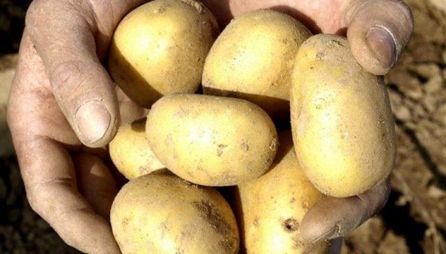 Картофель Уладар: характеристика, вкусовые качества, отзывы