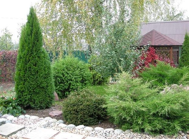 Туя западная Голден Смарагд (golden smaragd): описание, фото, отзывы