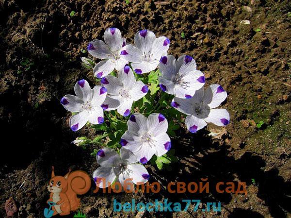 Немофила: выращивание из семян + фото