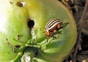 Вредители для рассады помидор