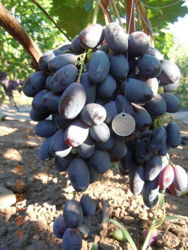 Виноград Велика: описание сорта, фото, отзывы