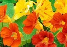 Клеома: выращивание из семян, когда сажать