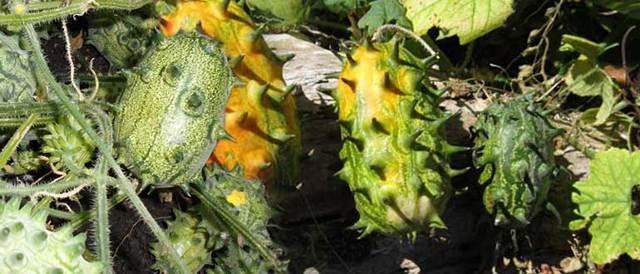 Кивано (рогатая дыня, африканский огурец): выращивание из семян в домашних условиях, в открытом грунте, в Подмосковье, в Сибири