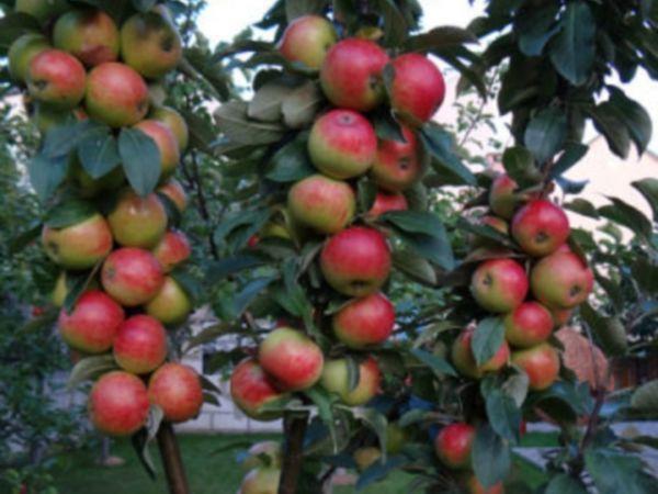 Обрезка колоновидных яблонь: нужна ли, когда и как обрезается