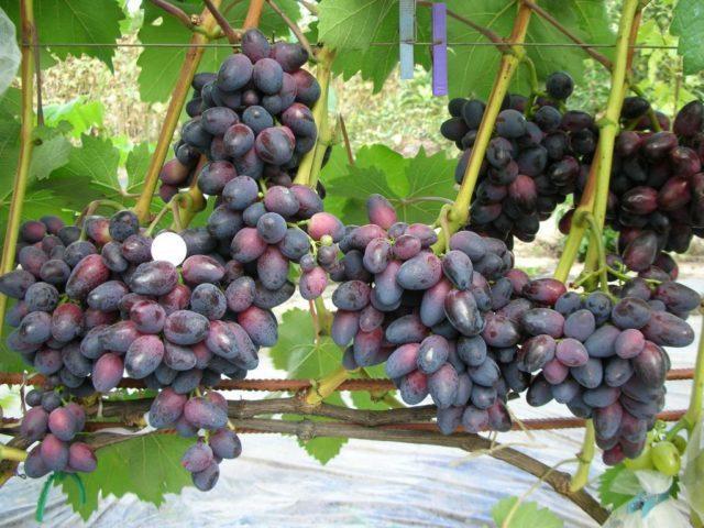 Виноград Красотка: описание сорта, фото, отзывы, видео