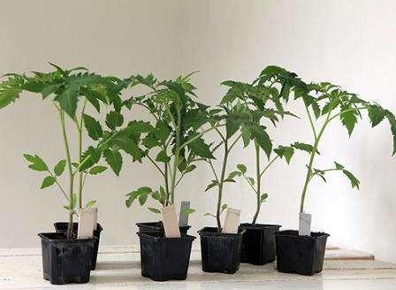 Когда высаживать томаты в Подмосковье