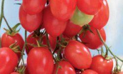 Томат Мажор: отзывы, фото, урожайность