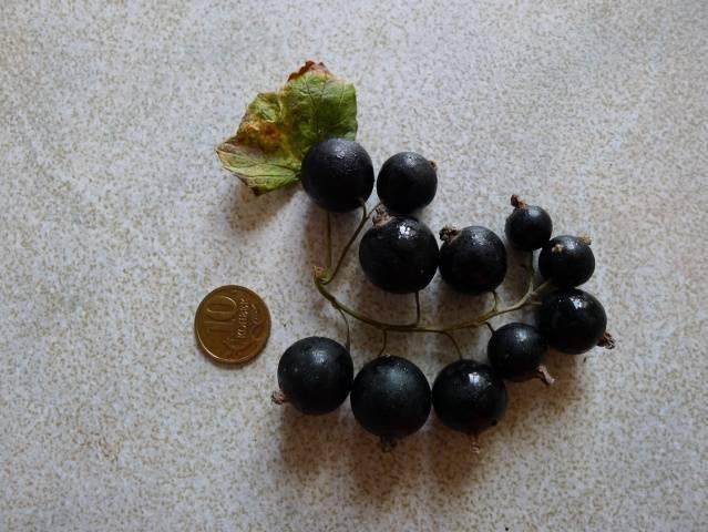 Черная смородина Селеченская, Селеченская 2: описание сорта, фото, отзывы