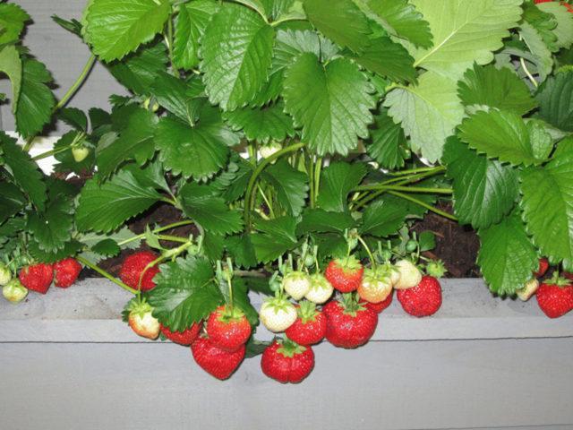 Клубника на подоконнике: выращивание и уход