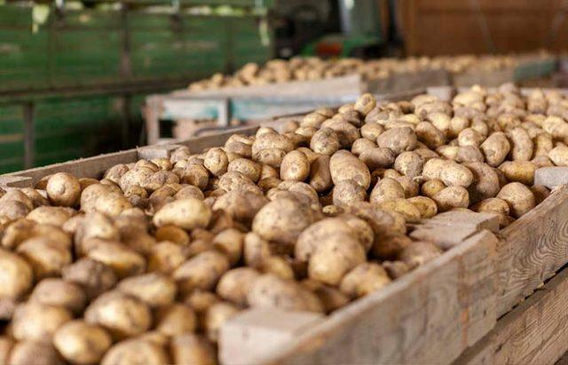Картофель Импала: описание сорта, фото, отзывы тех, кто сажал