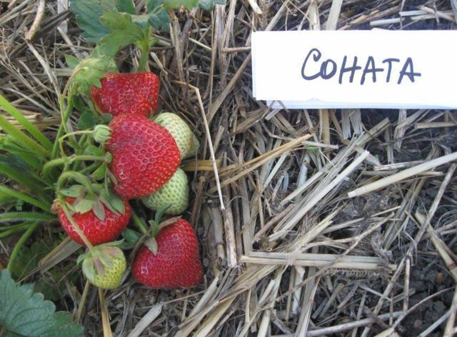 Клубника Соната: описание сорта, фото, отзывы садоводов