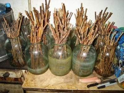 Черенкование винограда осенью: правила заготовки и хранения, видео