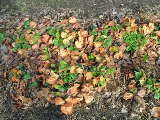 Клубника Маэстро: описание сорта с фото, отзывы садоводов
