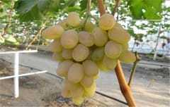 Виноград Фрумоаса Албэ: описание сорта, фото, отзывы