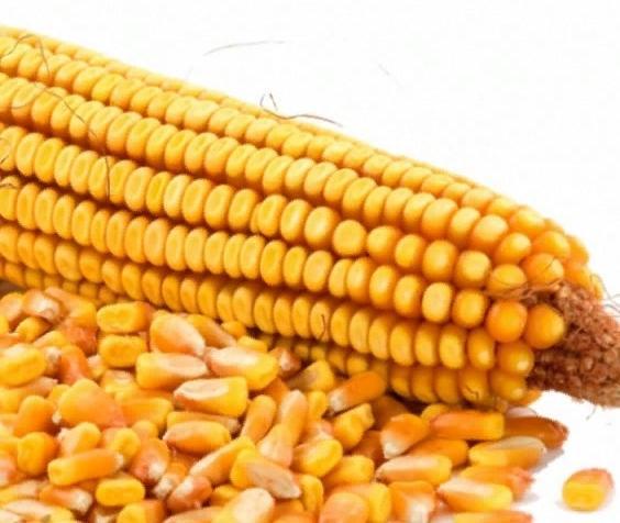 Кукуруза Трофи: описание сорта, посадка и уход, отзывы