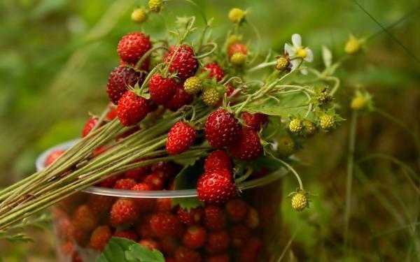 Клубника Симфония: описание сорта, фото, отзывы садоводов
