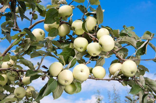 Яблоня Белый налив (Папировка): описание и характеристика сорта, фото, отзывы, посадка