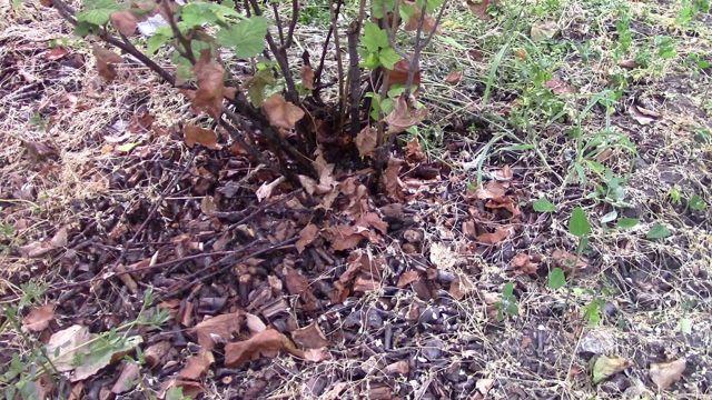 Как сажать смородину осенью: черенками, саженцами