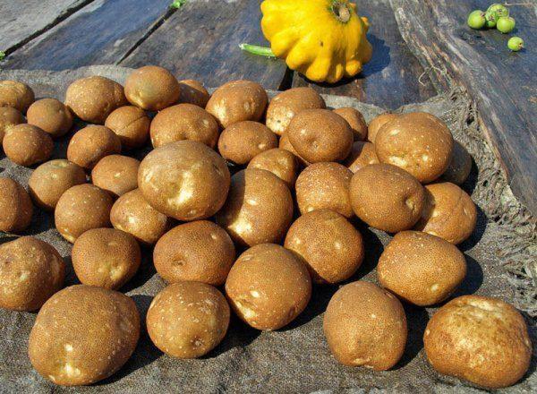 Сорт картофеля Киви: характеристика, отзывы, вкусовые качества, урожайность
