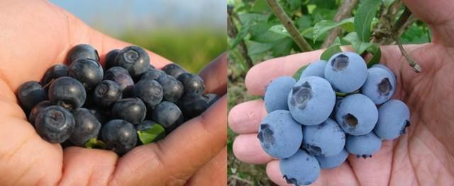 Голубика и черника - в чем разница: фото, как выглядят, как отличить