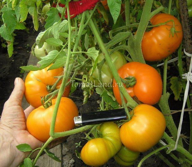 Томат Хурма: описание сорта, фото, отзывы, урожайность