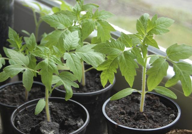 Чем подкармливать рассаду помидор