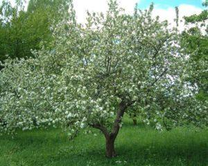 Яблоня Мантет: описание сорта, фото, отзывы, посадка
