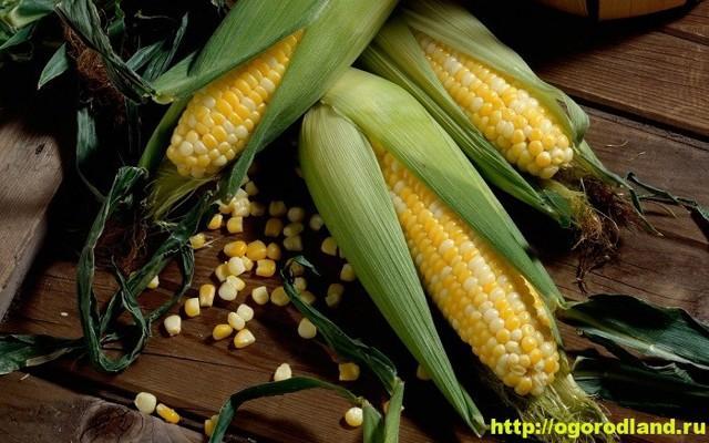 Черная кукуруза: посадка и уход, состав, лечебные свойства