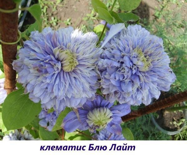 Клематис Королева Ядвига: описание, фото и отзывы
