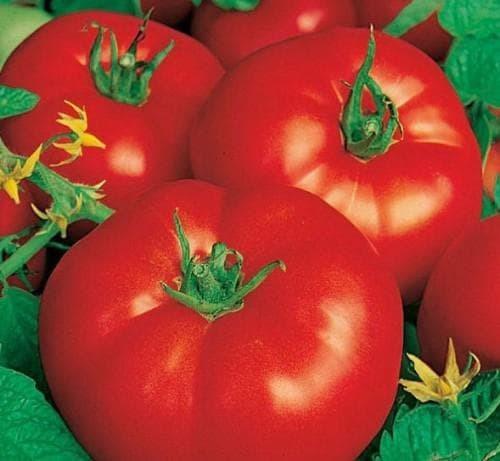Низкорослые ранние сорта томатов для открытого грунта