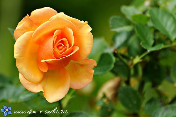 Как укрыть розы на зиму: нужно ли, как и чем укрывать, видео