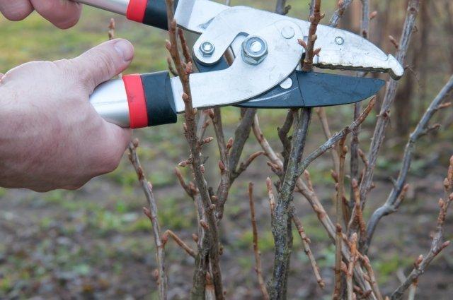 Как обрезать красную смородину осенью