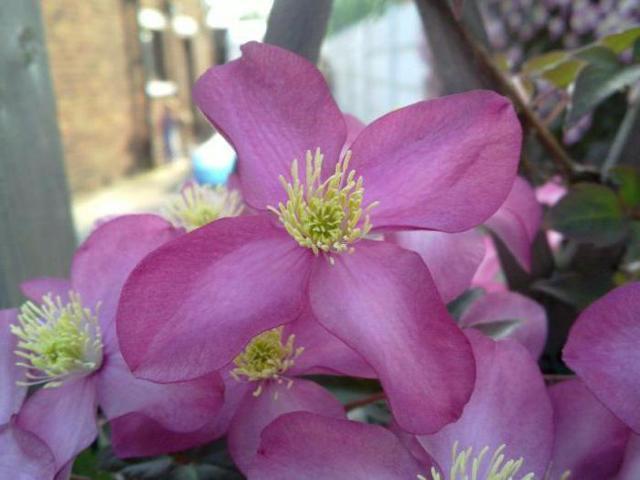 Клематис кустовой: описание, сорта, посадка и уход, фото