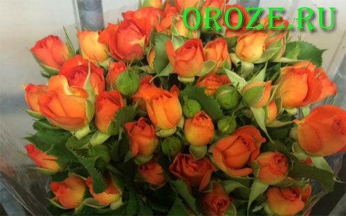Роза плетистая Черная Королева + отзывы