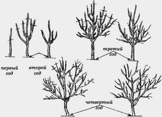Яблоня Серебряное копытце: описание, фото, отзывы, посадка