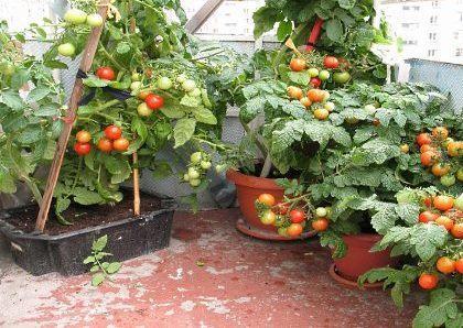Помидоры Балконное чудо: как выращивать, отзывы, фото