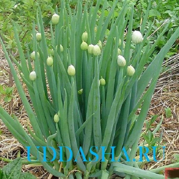 Лук-батун на подоконнике: выращивание из семян, как посадить и вырастить