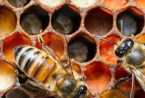 Продукты пчеловодства и их использование человеком: какие бывают, что полезнее всего, использование, употребление